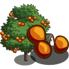 Persimmon Harvests in 4 days for 70 coins